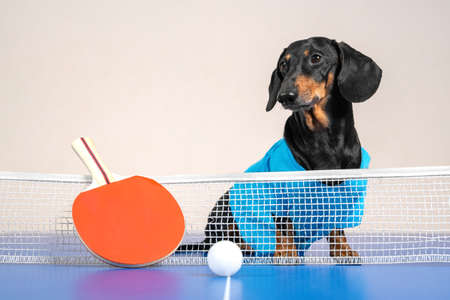 Cute active dachshund dog in blue t-shirt sits on ping-pong table, special small racket and lightweight ball lie in front of dividing net. Sports games and entertainment with pets