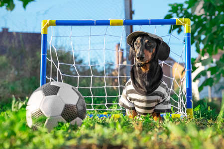 A cute dachshund dog looks attentively at the soccer ball.