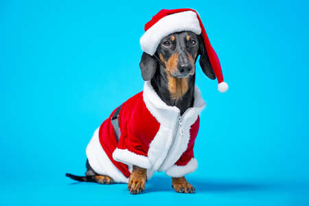 Adorable dachshund dog in suit and red Santa hat with fur sit on blue background with touching look, front view, copy space for advertising. The concept of holiday and carnival costumes for pets. Stock Photo