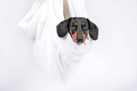 Obedient dachshund dog was wrapped in sheet and hung up, its head sticking out, white background, copy space. Eco-friendly cotton pet carrier bag.