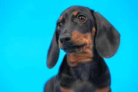Expressive portrait of cute black and tan dachshund puppy with smart and attentive look on blue background, copy space for advertising text, front view.