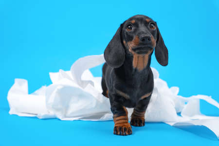 Naughty dachshund puppy stole and tore toilet paper, now leaves the crime scene. Active baby dog stayed home alone and made a mess. Stockfoto