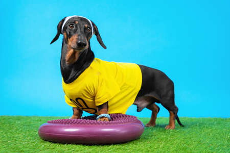 Dachshund dog in tracksuit, wristbands and sweatband placed its front paws on silicone hemisphere to train balance and agility
