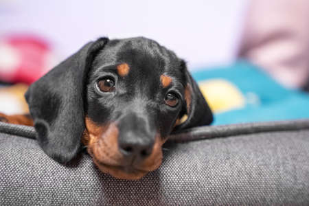 Portrait of adorable sad dachshund puppy lying with its head on side of pet bed