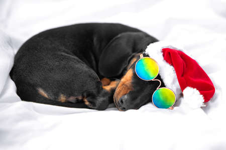 Funny dachshund puppy in Santa hat and fashionable sunglasses with chromatic polarized lenses sleeps on bed at home. Tired baby dog after stormy Christmas party.