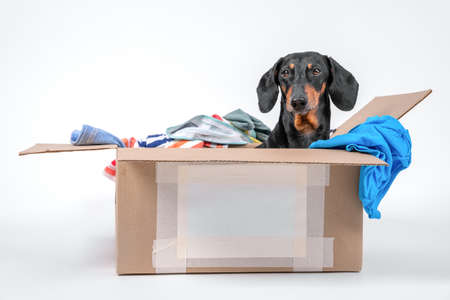 Cute little black and tan dachshund sit and digs in a large cardboard box with clothes. Very busy pet at home. Concept of storage system. Moving. Stock Photo