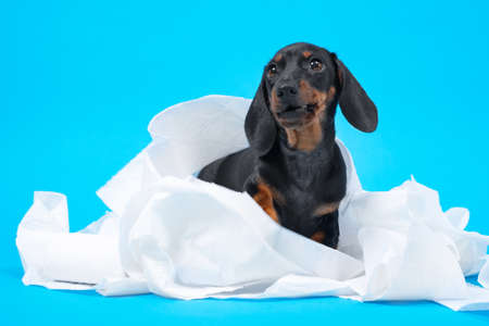 Cute little black and tan dachshund puppy wrapped with white cotton diapers, napkins or toilett paper. Adorable pet at home concept. Bright blue background, copy space.