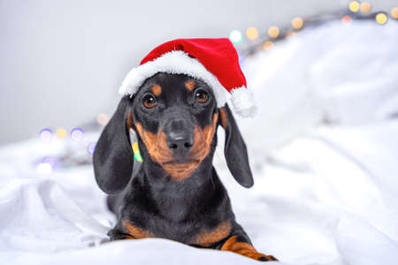 Funny serious dachshund puppy in Santa cap is lying on bed waiting for festive miracle on Christmas eve ready for traditional greeting of family, blurred background with twinkling garland.