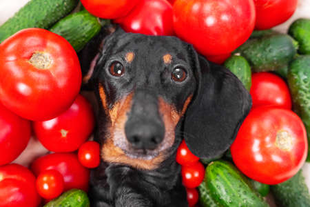 Funny dachshund dog lies covered with pile of fresh ripe tomatoes and cucumbers, top view. Creative advertising of healthy lifestyle Stock Photo