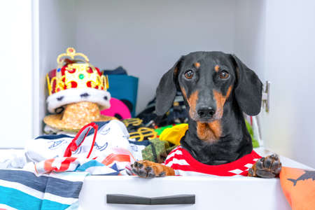 Crazy dachshund dog hoarder in striped t-shirt is sitting in closet drawer full of usual and strange clothes, front view. Problem of storing stuff in small apartment. Stock Photo