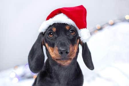 Christmas dachshund puppy dog wearing santa hat sad looking at the camera. Stock Photo