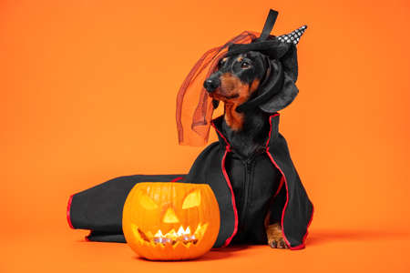 Funny dachshund in witch pointed hat with veil and black magic mantle sits on orange background with pumpkin jack lantern, copy space. Preparing to celebrate halloween