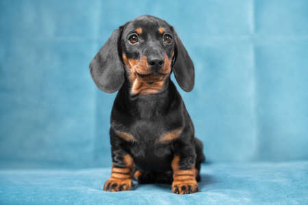 Cute serious recently adopted dachshund puppy sits on blue sofa in new home, front view. Charismatic baby dog with smart look poses. Stock Photo