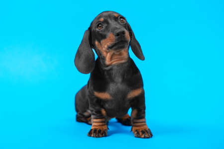 Expressive portrait of cute black and tan dachshund puppy with smart and attentive look on blue background, copy space for advertising text, front view