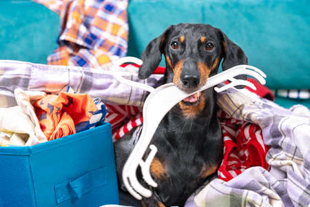 Funny dachshund dog sorts things in the wardrobe, sits in pile of clothes with hanger in his teeth and thinks what to wear to an important event. Stock Photo