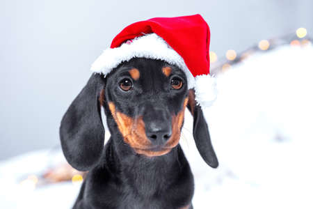 Close up portrait of cute little black and tan puppy dachshund wearing Santa Claus red and white hat, looking right to the camera. Light background, adorable Christmas or New Year concept.