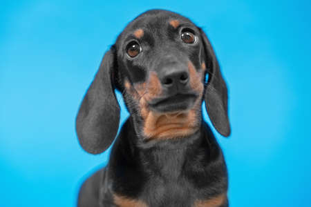 Portrait of cute dachshund puppy with smart look on blue background, front view, copy space for advertising text. Performance of purebred dogs.