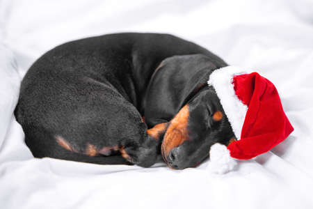 Close up portrait of cute little black and tan puppy dachshund lying down and sweety sleeping, with Santa Claus red and white hat. Adorable Christmas or New Year concept. Stock Photo