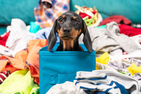 Funny dachshund puppy sits in cloth storage box and winks, clothes scattered around. Naughty playful baby dog interferes with cleaning or packing stuff, front view. Stock Photo