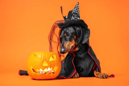 Funny dachshund in witch pointed hat with veil and black magic mantle sits on orange background and looks down into pumpkin jack lantern, copy space. Preparing to celebrate halloween Stock Photo