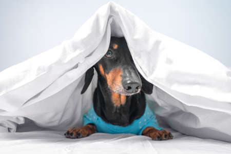 Funny dachshund in blue pajamas just woke up or going to sleep. Advertising bed linen or home clothes for pets. How to wean dog from getting into bed of owner.