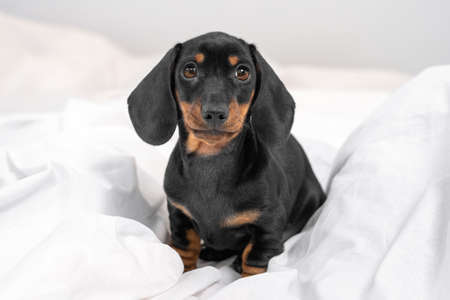 Obedient cute black and tan dachshund puppy sitting on white blanket and touching gaze looks straight in bedroom. Gentle portrait of baby dog.