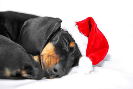 cute dachshund puppy in red christmas santa hat tenderly sleeping in bed waiting for a gift. Stock Photo