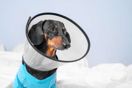 Sad dachshund dog wearing pajamas in rehabilitation is lying at home or in hospital room after treatment with surgery recovery collar around neck to prevent wound from licking..