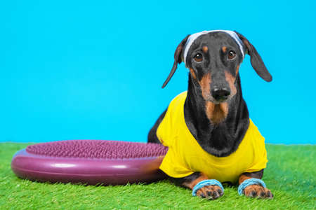 Dachshund dog in sportswear, wristbands on paws and sweatband on head lying next to silicone hemisphere to train balance and agility, blue background. Sports on grass Stock Photo
