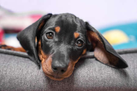 Portrait of adorable sad dachshund puppy lying with its head on side of pet bed, front view, close up. Tired baby dog resting after hard long day full of games and impressions. Stock Photo