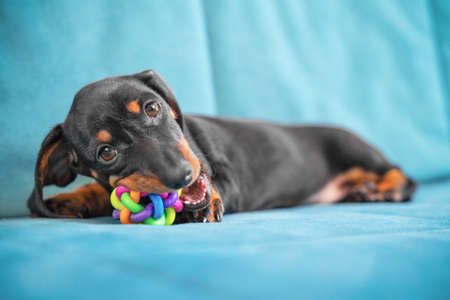 Baby dachshund plays and nibbles silicone toy to scratch teeth and not spoil furniture at new home. Special accessories for growing fangs of puppy. Stock Photo