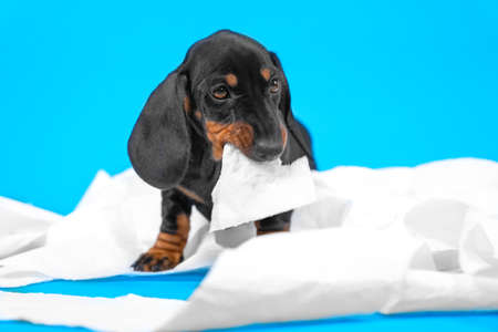 adorable dachshund puppy nibbles a piece of white toilet paper, unwinding a roll on a blue background. mischief and play of a naughty dog