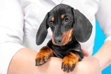 Close up portrait of cute little black and tan puppy dachshund sitting on hands veterinarian and looking down with touching face expression. Adorable eyes.