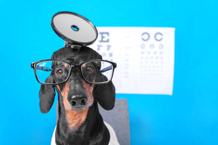 close up funny dachshund dog ophthalmologist in doctors costume with glasses for vision correction, professional equipment on the head, poster with letters for eye chart test on background Stock Photo