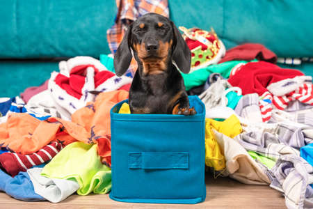 Funny dachshund puppy sits in cloth storage box screwing up eyes in fear, clothes scattered around. Naughty playful baby dog interferes with cleaning or packing stuff so he is waiting for punishment. Stock Photo