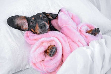 Funny black and tan dachshund dog in warm pink pajamas or bathrobe is lying in bed under soft blanket at home, going to sleep after hot relaxing shower. Stock Photo