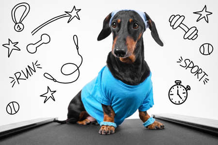 Active dachshund dog in sportswear with wristbands on paws and sweat band on head sits on treadmill ready for weekly jog, front view. Healthy lifestyle. Drawn sports attributes adorn white background.