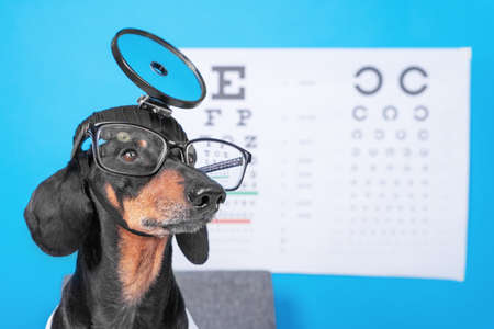 Cute dachshund dog ophthalmologist in doctor uniform with robe and head mirror, distant sight chart for eye test on background