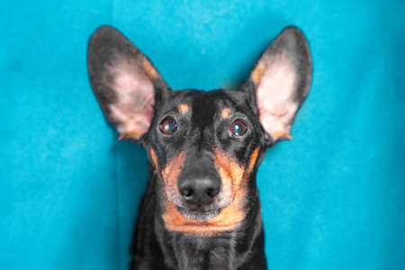 Portrait of funny dog lying on its back, ears flat on surface and sticking out like rabbits ears, blue background, top view, copy space. Pet is having fun and fooling around. Stock Photo