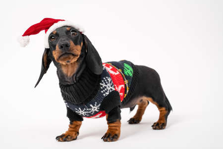 Cute serious dachshund puppy in Christmas sweater and Santa hat with fur obediently stands on white background, looks at someone and waits for holiday miracle, copy space. Stock Photo