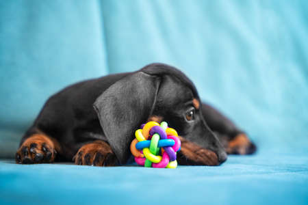 Baby dachshund tired plays and nibbles silicone toy to scratch teeth and not spoil furniture at new home. Special accessories for growing fangs of puppy. Banque d'images
