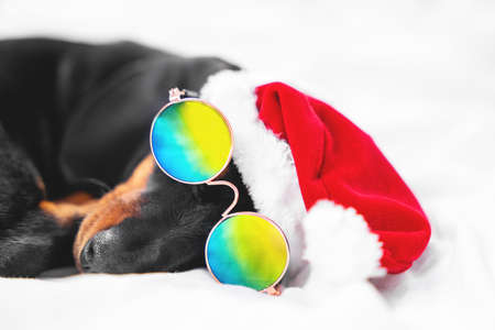 close up funny dachshund puppy in Santa hat and fashionable sunglasses with chromatic polarized lenses sleeps on bed at home Stock Photo