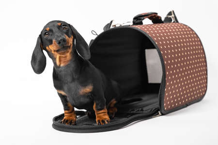 Adorable curious dachshund puppy sit into open pet carrier with rigid frame, white background, copy space. Convenient equipment for safe traveling with animals.