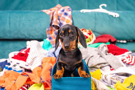 Close up portrait of cute little black and tan puppy dachshund sitting in blue textile basket and looking right to the camera. Many scattered clothes on background, adorable dog eyes.
