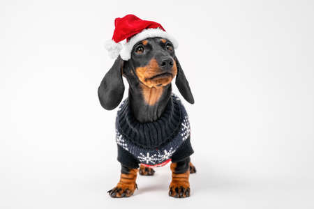 Cute serious dachshund puppy in Christmas sweater and Santa hat with fur obediently stands on white background, looks at someone, and waits for holiday miracle.