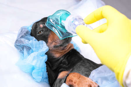Portrait of dachshund in protective disposable surgical cap and anesthesia oxygen mask lies on operating table before complex procedure in hospital, close up.