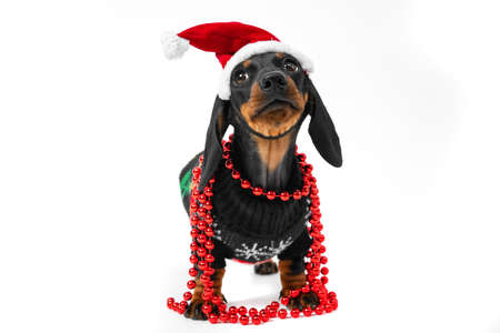 Funny obedient dachshund puppy in warm knitted Christmas jacket, Santa hat and with shiny garland around neck poses for holiday photo shoot or advertisement on white background, front view, copy space.