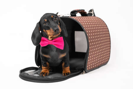 Lovely dachshund puppy in pink bow tie sits at entrance to opened pet carrier with rigid frame, white background, copy space. Convenient equipment for safety traveling with animals.