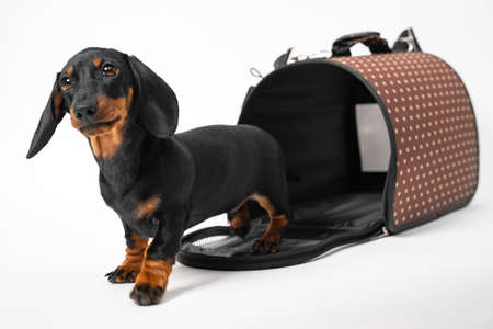 Obedient dachshund puppy learns to sit in pet carrier with rigid frame, white background, copy space. Comfortable equipment for safety traveling with animals.