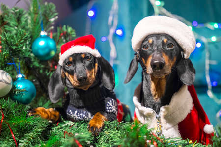 Naughty adult dachshund dog and restless puppy in Santa costumes have filled up artificial Christmas tree decorated with garland and festive balls, looks guiltily at the owner